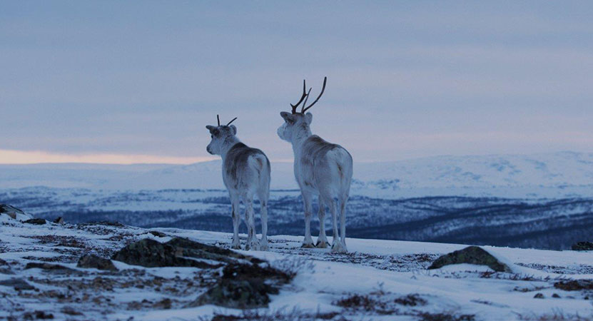 a young and old Reindeer in the snow from the film Ailo: Une Odysée en Laponie (Ailo: A Reindeer's Journey)