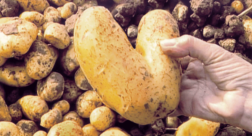 a hand holds a heart shaped potato from the film The Gleaners and I